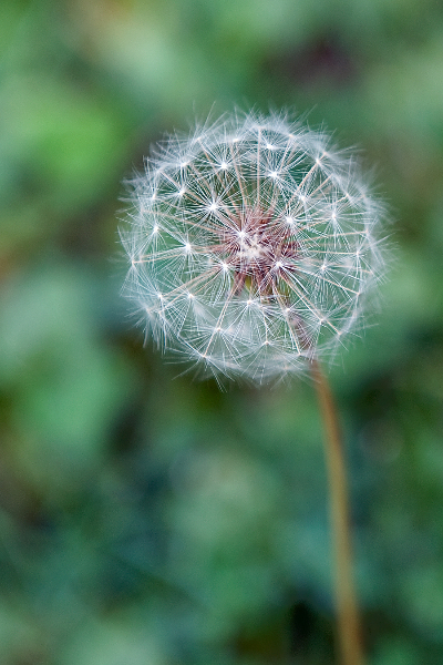 dandelion-puff-1-ed