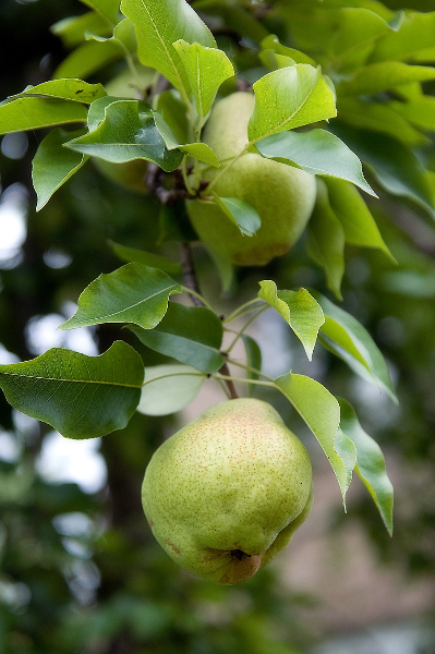 pears-on-branch-1