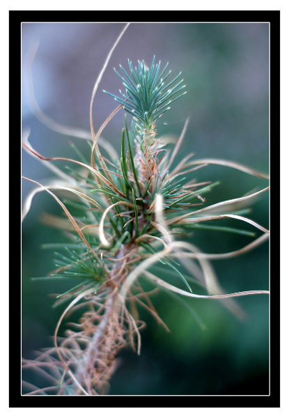 pine-branch-with-borders