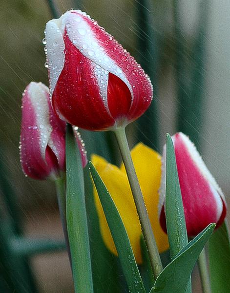 rain-on-tulips-valencia-11x14