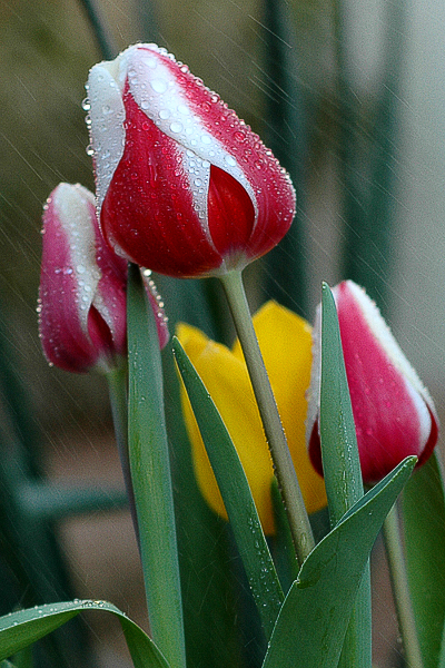 rain-on-tulips-valencia