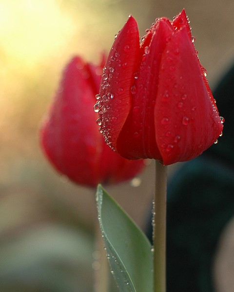 red-tulips-1-8x10-size
