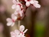 pink-flowers-spring-1