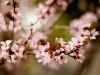 pink-flowers-spring-4