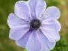 purple-anemone-1