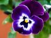 violet-1