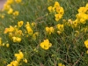 yellow-bush-1