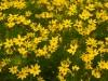 yellow-chicagoflowers