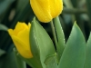 yellow-tulips1