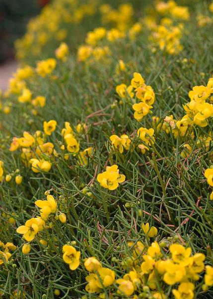 yellow-bush-1