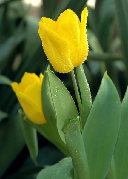yellow-tulips1