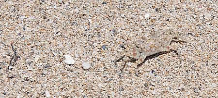 chinamans-hat-15-crab-cropped