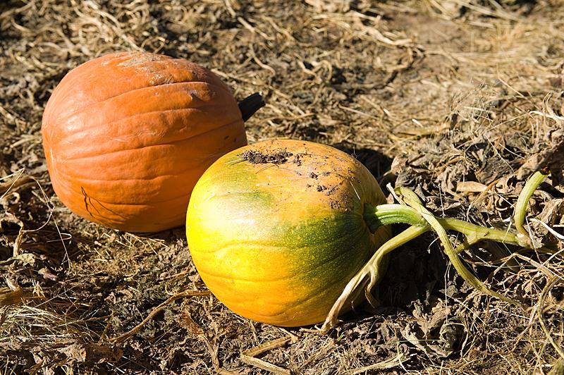 freeman pumpkin patch 20